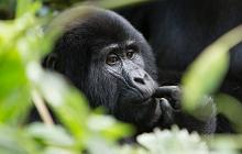 Mountain Gorillas & Big 5 Honeymoon