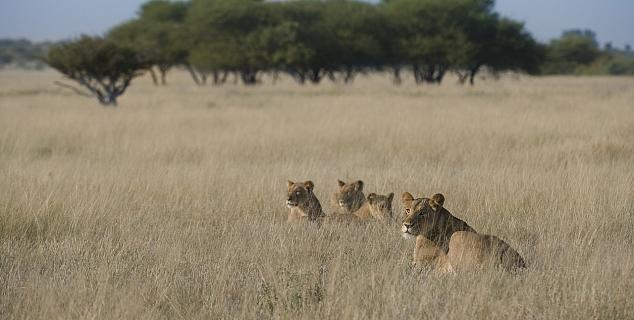 Lions on the Kalahari Plains