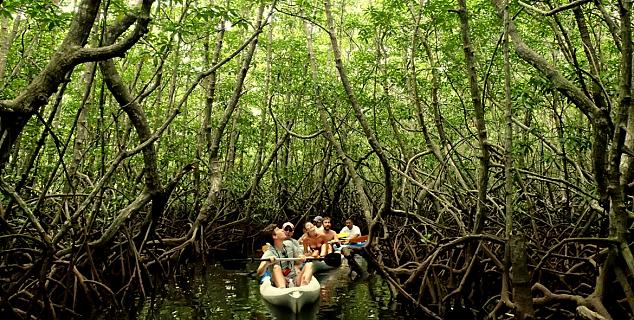Mangrove Kayaking