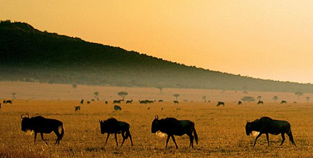 Wildebeest on the Masai Mara